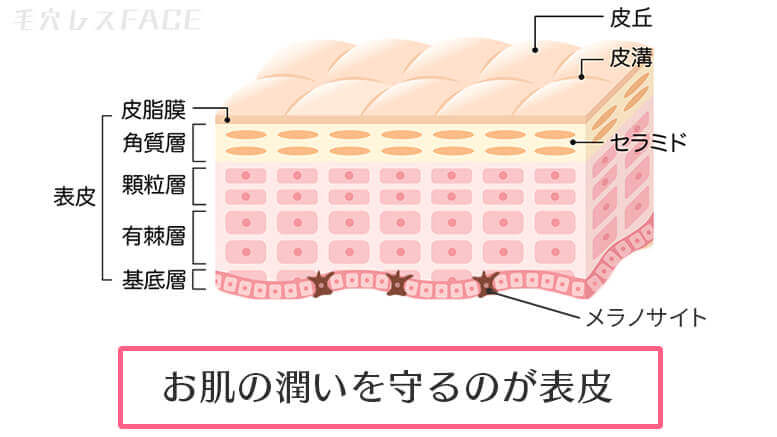 表皮の図解イラスト