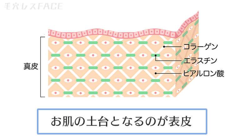 真皮の図解イラスト